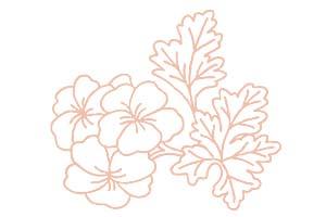 ゼラニウム Pelargonium Graveolens